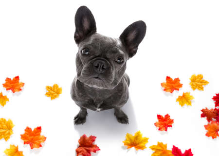 curious french bulldog dog looking up to owner waiting or sitting patient to play or go for a walk,  isolated on autumn fall leaves Stock Photo