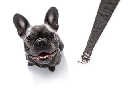 people: french bulldog dog waiting for owner to play  and go for a walk with leash , isolated on white background