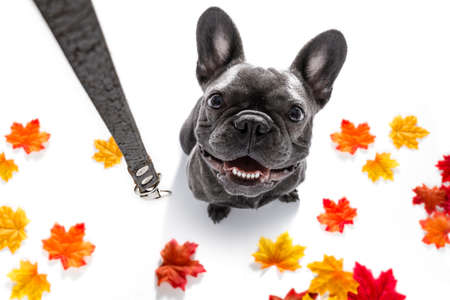 french bulldog dog waiting for owner to play  and go for a walk with leash in autumn or fall , leaves all around Stock Photo