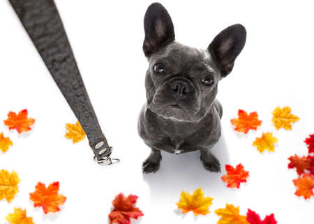 french bulldog dog waiting for owner to play  and go for a walk with leash in autumn or fall , leaves all around Zdjęcie Seryjne