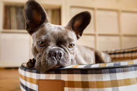 french bulldog dog relaxing  in living room or daydreaming in pet bed , thinking about life