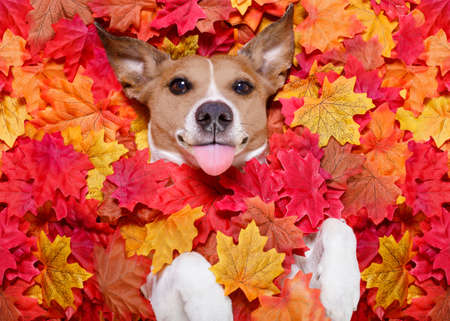yellow: jack russell dog , lying on the ground full of fall autumn leaves, looking at you  sticking out the tongue,  lying on the back torso Stock Photo