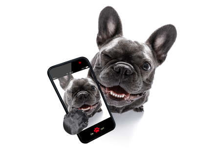 curious french bulldog dog looking up to owner taking a selfie or snapshot with mobile phone or smartphone Standard-Bild