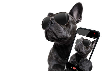 cool trendy posing french bulldog with sunglasses looking up like a model , taking a selfie , isolated on white background Stockfoto