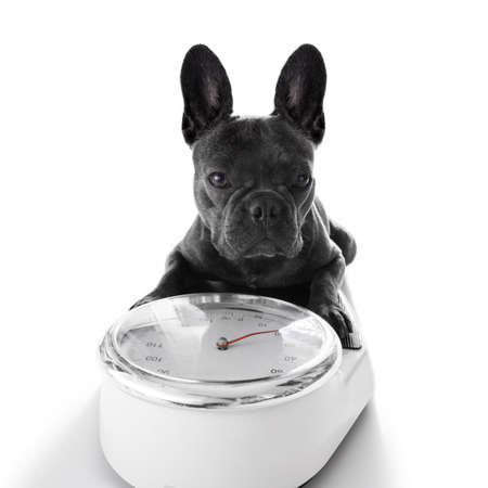 healthy body: french bulldog  dog with guilty conscience  for overweight, and to loose weight , standing on a scale, isolated on white background