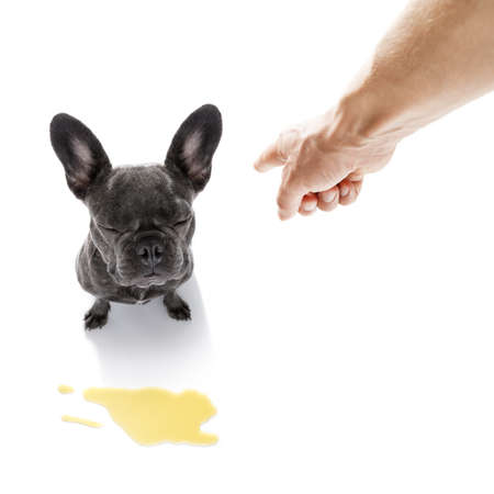 incontinence: french bulldog  dog being punished for urinate or pee  at home by his owner, isolated on white background