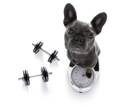 bar: french bulldog  dog with guilty conscience  for overweight, and to loose weight , standing on a scale, isolated on white background with dumbbells