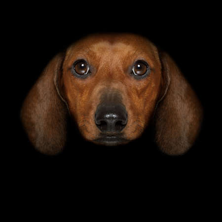 dachshund sausage dog isolated on black dark dramatic background looking at you frontal, isolated Stock Photo