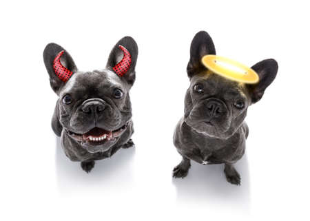 french bulldog dogs ghost for halloween ,  scary and spooky looking up to owner ,right or wrong , good and bad Stock Photo