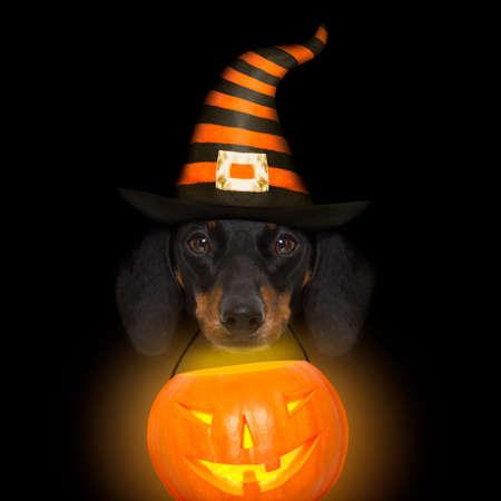 Halloween-duivels worst dachshund bang en bang, geïsoleerd op zwarte achtergrond, houden een pompoen lantaarn