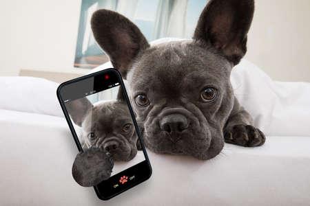 프랑스 불독 강아지는 침실에서 편안하거나 공상을하며 스마트 폰으로 셀카를 타는 삶에 대해 생각합니다.