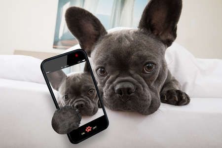 french bulldog dog relaxing  or daydreaming in  bedroom , thinking about life taking a selfie with smartphone
