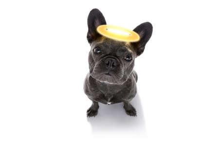 french bulldog  dog with guilty conscience  with angel halo on the head , isolated on white background