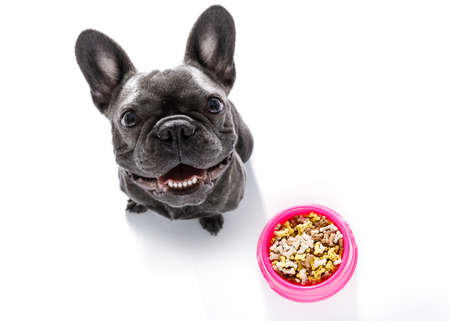 hungry  french bulldog dog  behind full   bowl with treats or cookies, isolated on white looking up  to owner