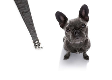 french bulldog dog waiting for owner to play  and go for a walk with leash , isolated on white background