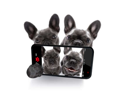 couple of  french bulldog dogs in love taking a selfie together,  isolated on white background