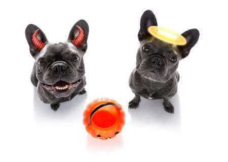 french bulldog dogs ghost for halloween ,  scary and spooky looking up to owner , for trick or treat with pumpkin lantern