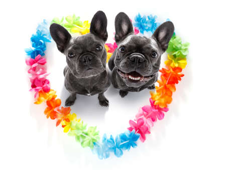 couple of french bulldog dogs in love for happy valentines day with rainbow  flower chain in heart shape  , looking up in wide angle