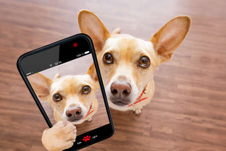 curious chihuahua dog looking up to owner waiting or sitting patient to play or go for a walk,  taking a selfie with smartphone or cell phone Stock Photo