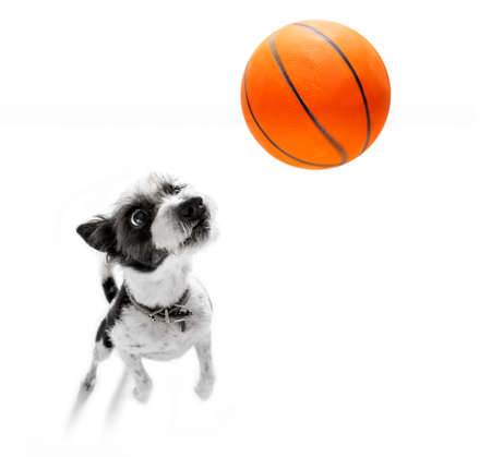 basketball  poodle dog playing with  ball  , isolated on white background, wide angle fisheye view Stock Photo