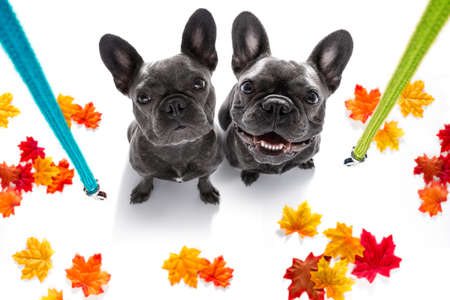 couple of french bulldog dog waiting for owner to play  and go for a walk with leash in autumn or fall , leaves all around