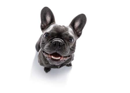 neugierig Französisch Bulldog Hund suchen bis zum Besitzer warten oder sitzenden Patienten zu spielen oder gehen für einen Spaziergang, isoliert auf weißem Hintergrund
