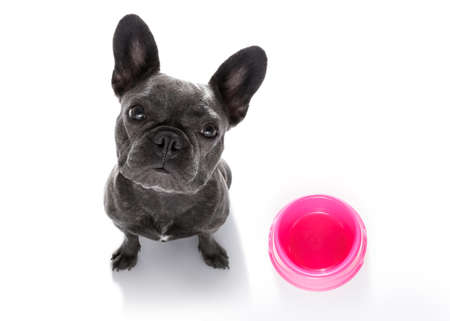 hungry  french bulldog dog  behind empty   bowl, isolated on white looking up  to owner and begging for food Stock Photo