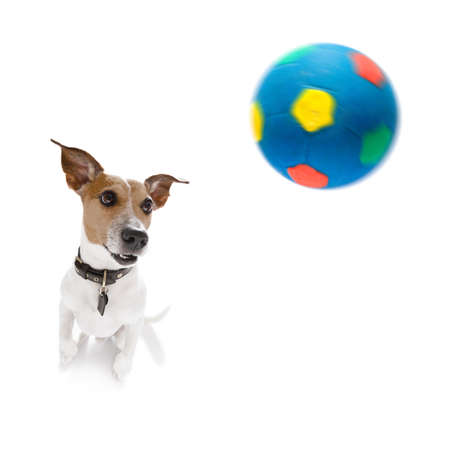soccer jack russell dog playing with  ball  , isolated on white background, wide angle fisheye view Stock Photo