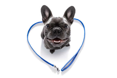 french bulldog dog looking up to owner waiting or sitting patient to play or go for a walk,in love with heart shape leash, isolated on white background Stock Photo