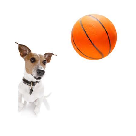 basketball  jack russell dog playing with  ball  , isolated on white background, wide angle fisheye view Stock Photo