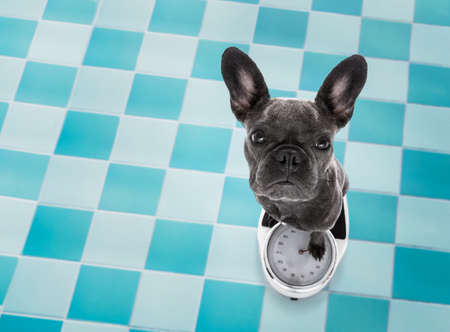 french bulldog  dog with guilty conscience  for overweight, and to loose weight , standing on a scale, in bathroom Stock Photo