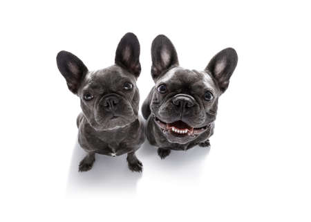 couple of curious french bulldog dogs looking up to owner waiting or sitting patient to play or go for a walk,  isolated on white background