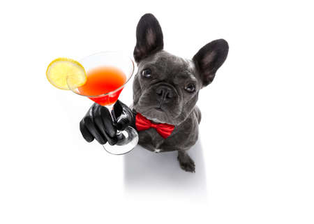 drunk french bulldog  dog cheering a toast with martini cocktail drink , looking up to owner ,   isolated on white background