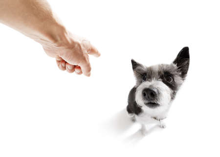 poodle  dog  being punished by owner for very bad behavior , with finger pointing at dog