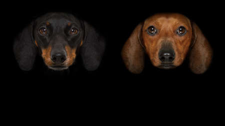 couple of dachshund sausage dogs isolated on black dark dramatic background looking at you frontal, isolated