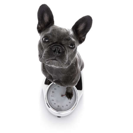 french bulldog  dog with guilty conscience  for overweight, and to loose weight , standing on a  personal scale, isolated on white background
