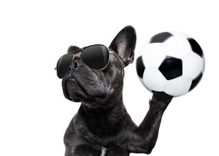 soccer french bulldog  dog playing with leather ball  , isolated on white background, wide angle fisheye view Stock Photo