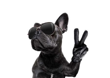 cool moda posando bulldog francés con gafas de sol mirando hacia arriba como un modelo, con los dedos de la paz o la victoria, aislados en blanco
