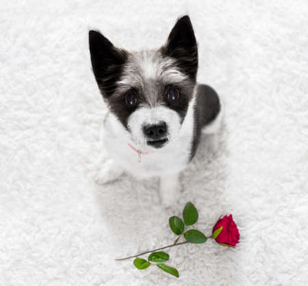 poodle dog in love for happy valentines day with petals and rose flower , looking up in wide angle