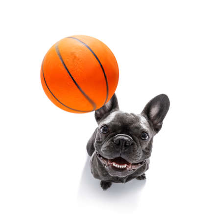 basketball  french bulldog dog playing with  ball  , isolated on white background, wide angle fisheye view Stock Photo