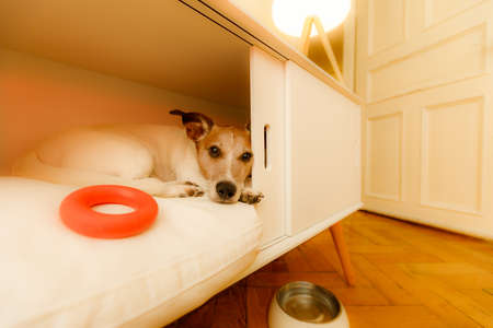 jack russell  dog relaxing  or daydreaming in pet bed in bedroom , thinking about life