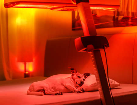 resting jack russell dog under tanning bed and red light therapy treatment , healing and recovering from pain ( low light picture )