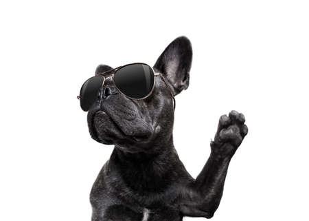 cool trendy posing french bulldog with sunglasses looking up like a model , isolated on white background, with paw high five Stock Photo