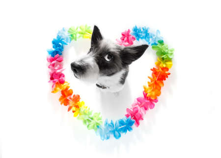 poodle dog in love for happy valentines day with rainbow  flower chain in heart shape  , looking up in wide angle Stock Photo