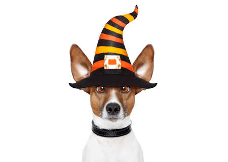 halloween devil jack russell dog  scared and frightened, isolated on white background, wearing a witch hat Stock Photo