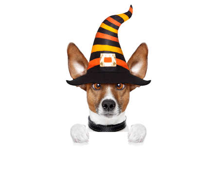 halloween devil jack russell dog  scared and frightened, holding a blank empty banner or placard , isolated on white background, wearing a witch hat Stock Photo