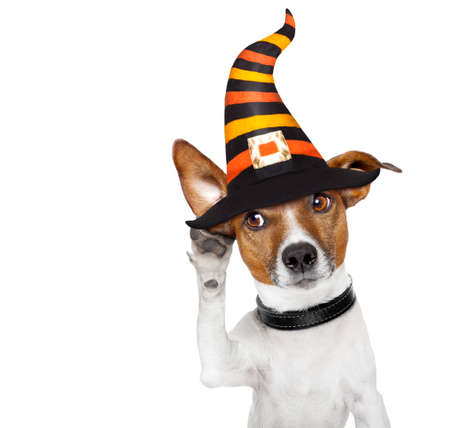 escuchar: diablo de halloween jack russell perro asustado y asustado, escuchando con una gran oreja, aislado sobre fondo blanco,