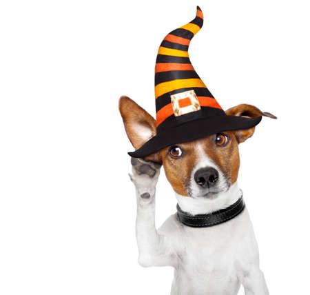 satan: Halloween-Teufel Jack Russell Hund erschrocken und erschrocken, mit einem großen Ohr hören, isoliert auf weißem Hintergrund,