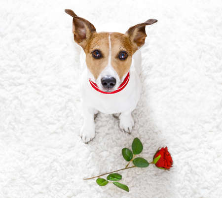 jack russel dog in love for happy valentines day with petals and rose flower , looking up in wide angle