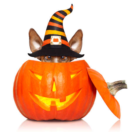 halloween devil jack russell dog inside pumpkin, scared and frightened, isolated on white background Stock Photo